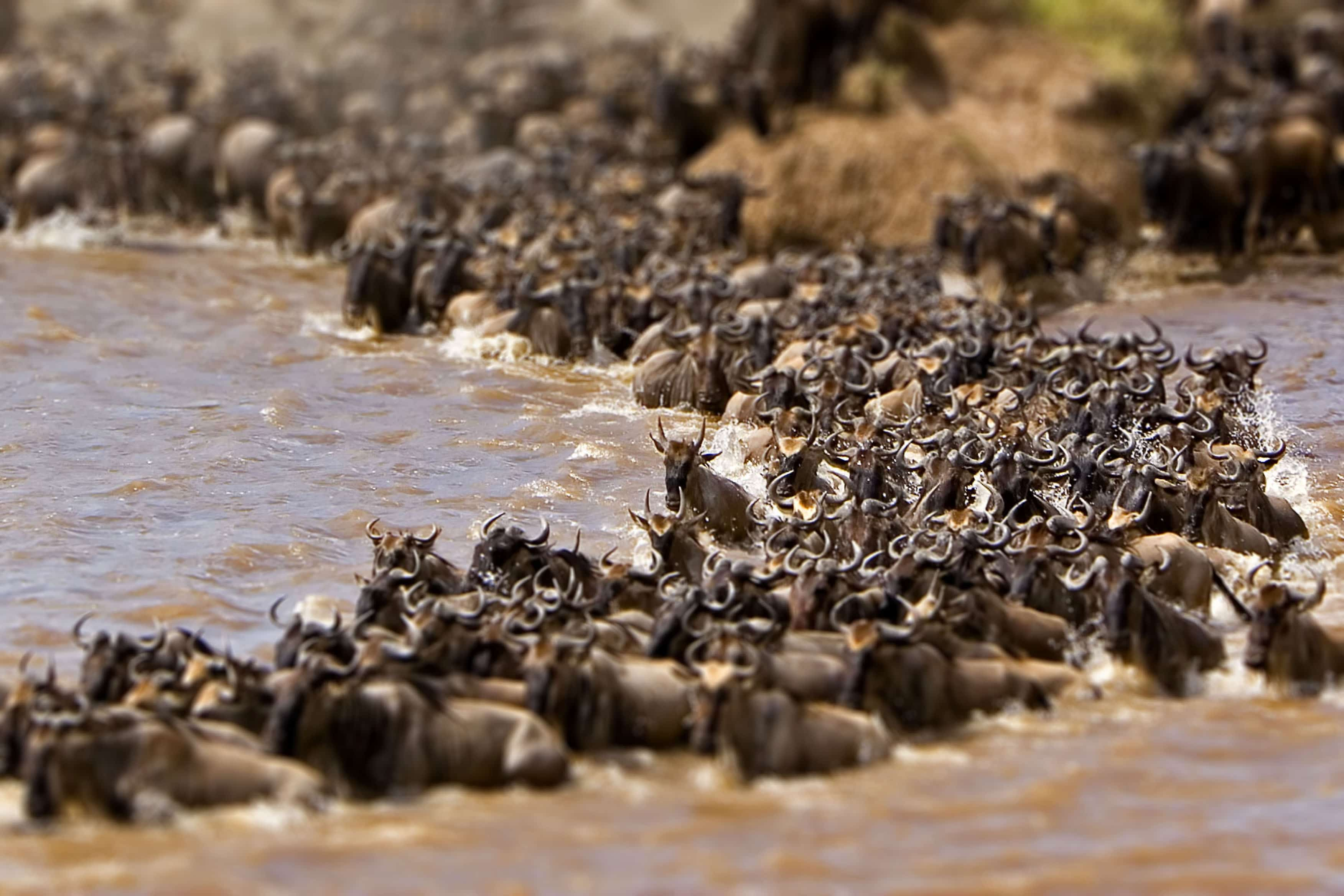 Wildebeests crossing a river