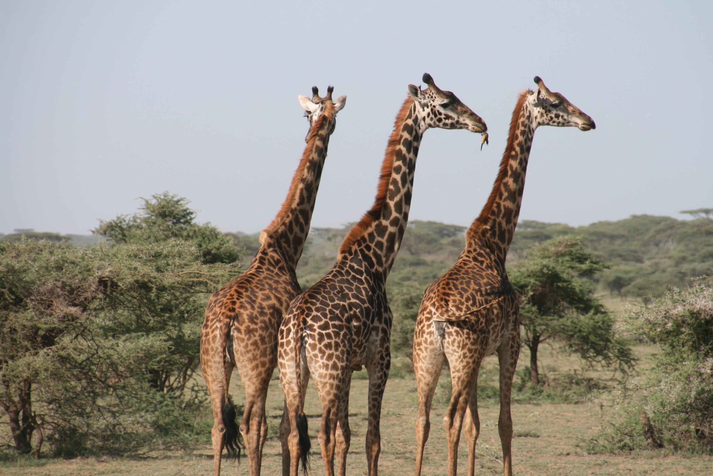 Three giraffes walking