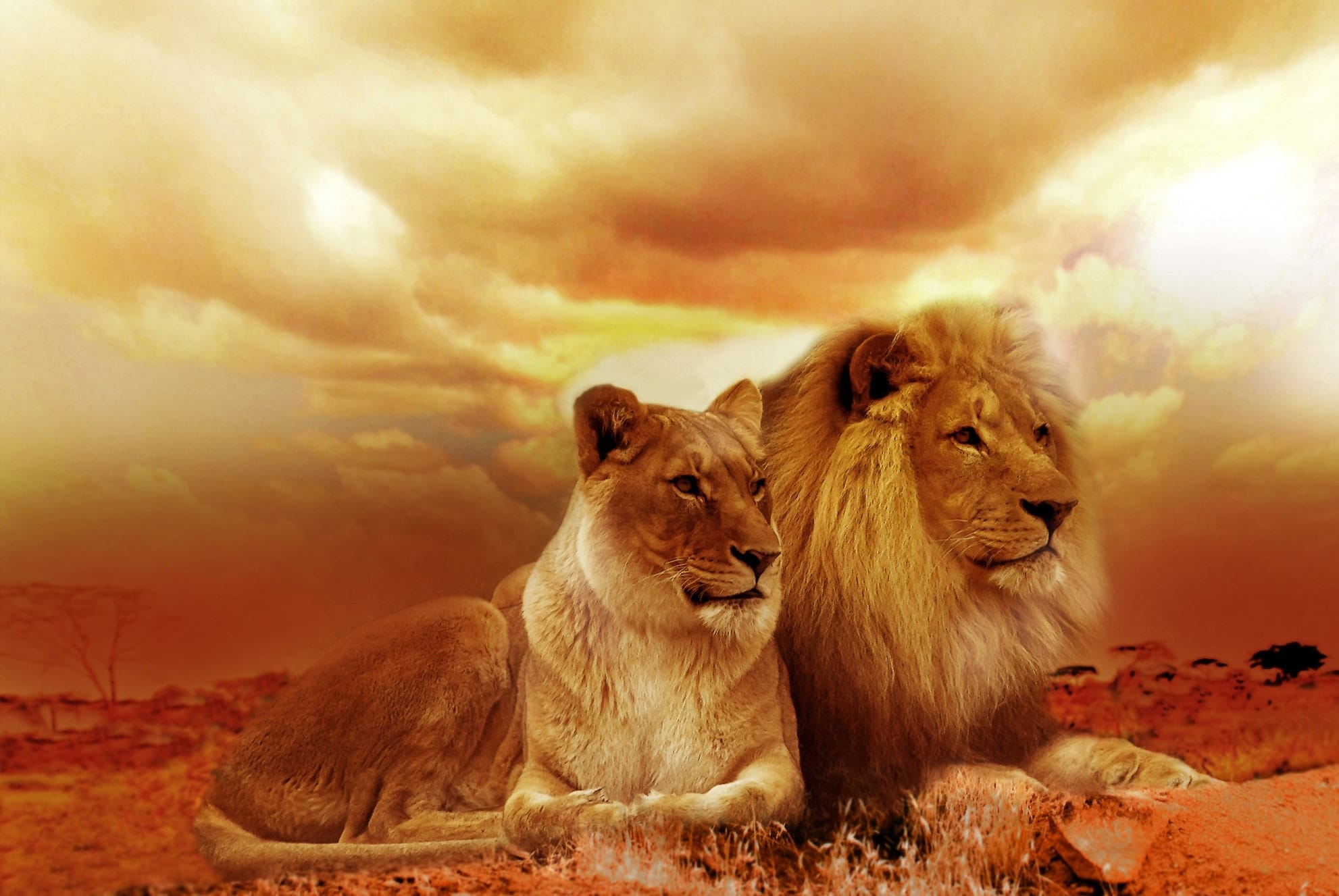 Lion and lioness seated together