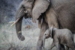 A mother elephant and her baby walking
