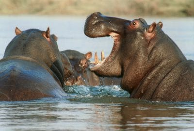 5 of Africa's Most Dangerous Animals And How To Survive Them Part 1