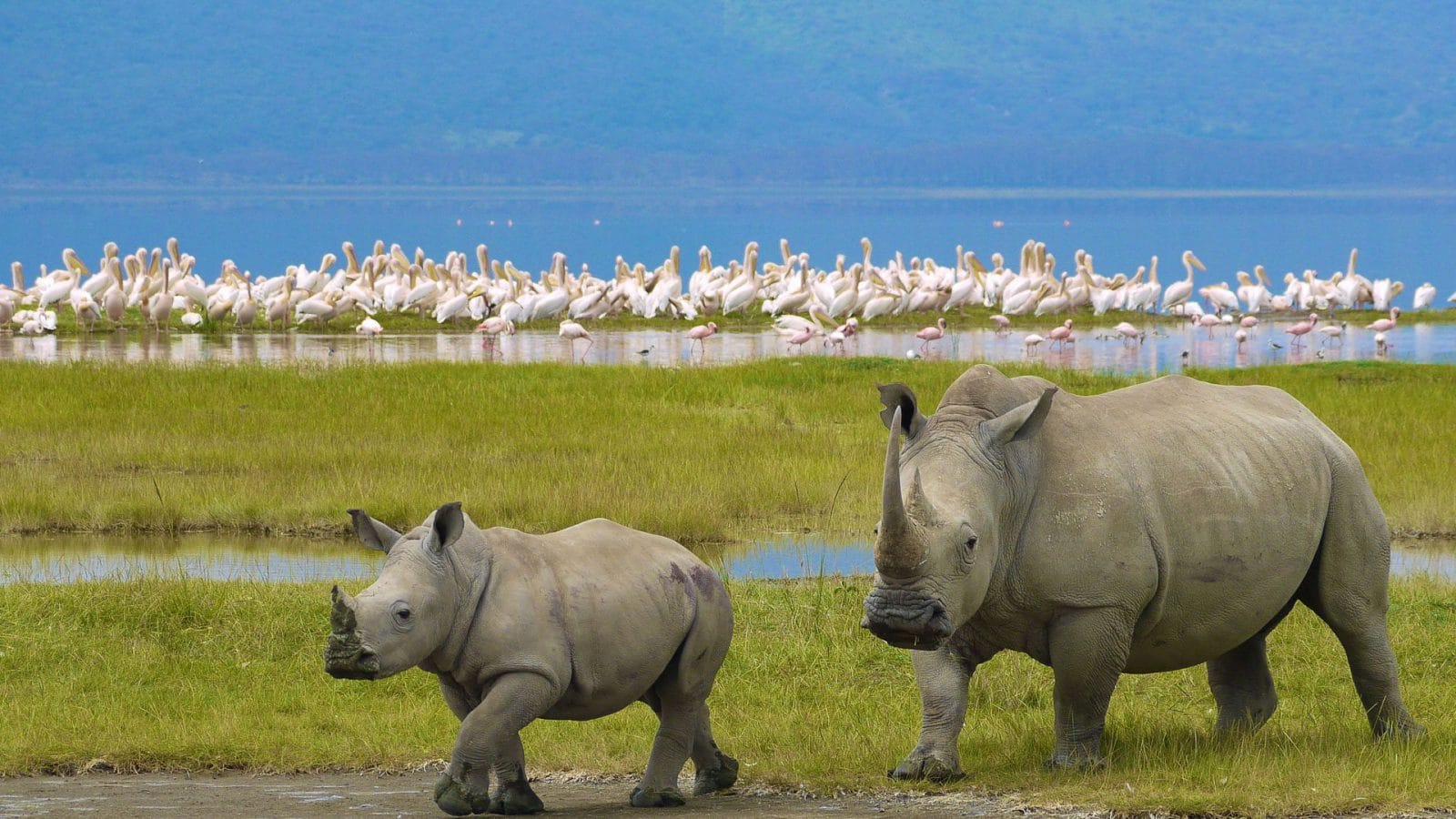 Mother rhino walking with baby rhino and flamingos in background at Lake Nakuru