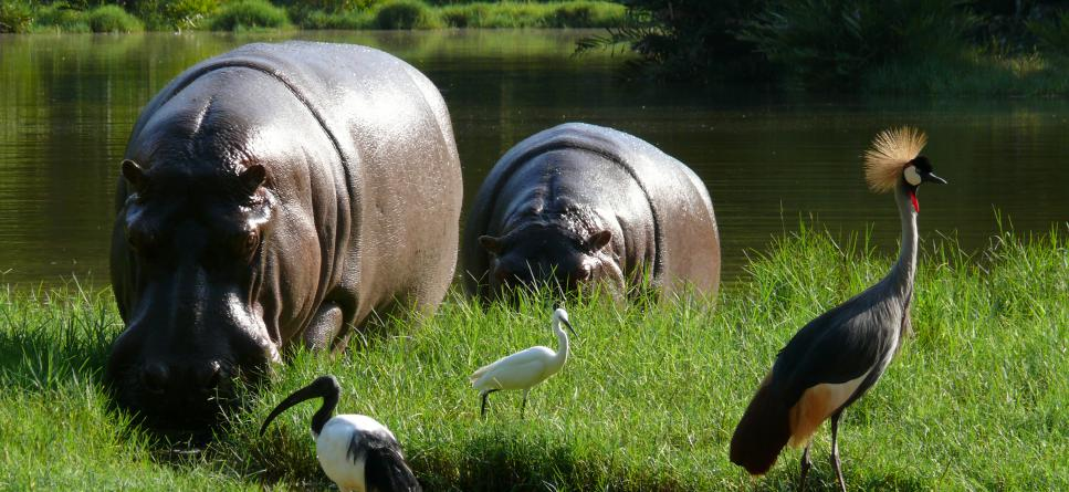 Two hippos, a crane bird, and two birds
