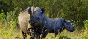 Rhino and calf in Aberdare National Park